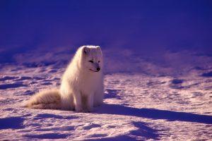 Noorwegen, Arctische vos